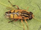 Helophilus latifrons
