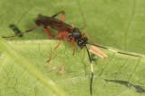 Linycus exhortator thoracicus