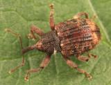 Conotrachelus posticatus