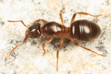 Lasius umbratus (queen)