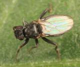 Parasphaerocera sp. or Mesosphaerocera annulicornis