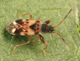 Dirt-colored Seed Bugs - Rhyparochromidae