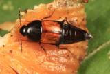 Tachinus fimbriatus