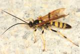 Eutanyacra vilissima (male)