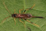 Therion petiolatum