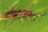 Cratichneumon facetus