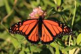 Monarch - Danaus plexippus (male)
