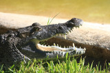 Morelet's Crocodile - Crocodylus moreletii