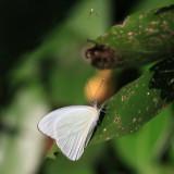Florida White - Appias drusilla