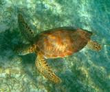 Green Turtle - Chelonia mydas