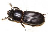 Bess Beetle - Passalidae