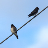 Ridgway's Rough-winged Swallow - Stelgidopteryx ridgwayi