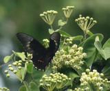 Yucatan Swallowtail - Papilio rogeri