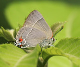Burnt-chocolate Hairstreak - Theclopsis mycon