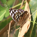 Whitened Bluewing - Myscelia cyaniris