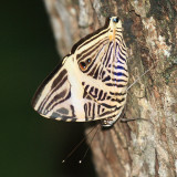 Small Beauty - Colobura dirce