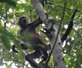 Yucatan Spider Monkey - Ateles geoffroyi yucatanensis