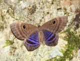 Purple-washed Eyemark - Mesosemia lamachus