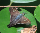 Square-spotted Polythrix - Polythrix caunus