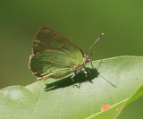 Brown Greenstreak - Cyanophrys fusius