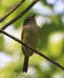 Northern Bentbill - Oncostoma cinereigulare