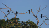 Groove-billed Ani - Crotophaga sulcirostris