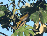 Black-headed Saltator - Saltator atriceps