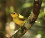 Hooded Warbler - Wilsonia citrina