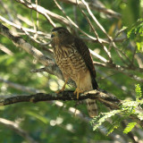Roadside Hawk - Buteo magnirostris
