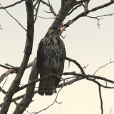 Gray Hawk - Buteo nitidus (immature)