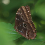 Common Morpho - Morpho helenor
