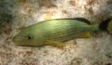 Blue Striped Grunt - Haemulon sciurus