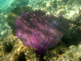 Purple Sea Fan - Gorgonia ventalina