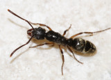 Hairy Panther Ant - Pachycondyla villosa