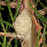 Eumenes sp. (nest)