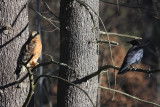 Red-Shouldered Hawk - Buteo lineatus & American Crow
