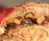 Neolasioptera cornicola