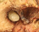 White Oak Club Gall larva - Callirhytis clavula