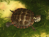 Painted Turtle - Chrysemys picta