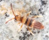 Entomobrya clitellaria