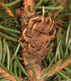 Eastern Spruce Gall Adelgid - Adelges abietis