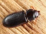 Bark-gnawing Beetles - Trogossitidae