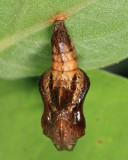 Limenitis sp.