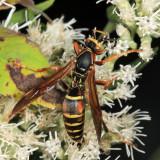 Paper Wasps - Polistinae