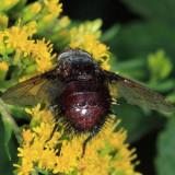 Juriniopsis adusta