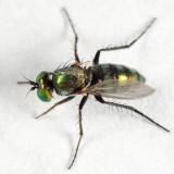Dolichopus acuminatus