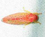 Gyponana octolineata