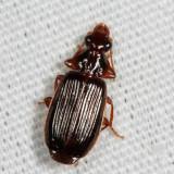 Plochionus timidus