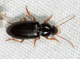 Selenophorus hylacis