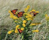 migrating Monarchs - Danaus plexippus